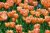 Tulips Background