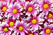 Artistic floral background with colorful purple white yellow chrysanthemums daisy flowers