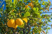 Lemons On Tree poster
