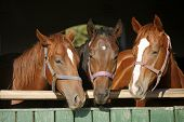 Nice Curious Thoroughbred Foals Standing  In The Stable Door. Purebred Chestnut Youngsters Standing  poster
