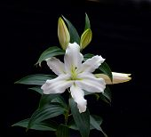 pic of asiatic lily  - a beautiful white lily blooming with a black background - JPG