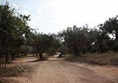 Through The Olive Groves To Banana Beach