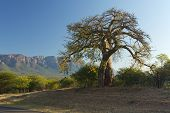 foto of veld  - Baobab tree with mountain in the background - JPG