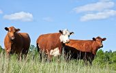 stock photo of moo-cow  - Cattle trio  - JPG