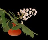 Horse Chestnut Flower In A Vase On A Black Background