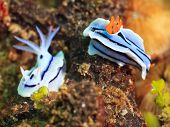 Macro shot of a two nudibranches underwater