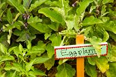 stock photo of brinjal  - Organic vegetable garden in community garden of urban area - JPG