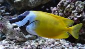 picture of saltwater fish  - aquarium saltwater fish Pangasius - JPG