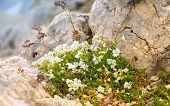 White Flowers In Caucasus Mountains Reserve Growing On Stones