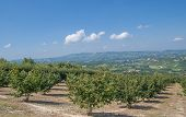 foto of hazelnut tree  - View of a Hazelnut Plantation in Piedmont - JPG