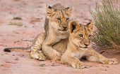 Two Cute Lion Cubs Playing On Sand In The Kalahari