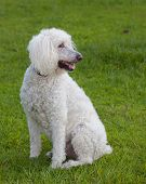 stock photo of poodle  - Full sized white poodle that is on a green lawn - JPG