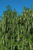 picture of babylon  - wall of hanging green vegetation against a blue sky  - JPG
