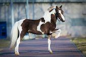 Pony Shetland.
