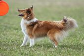 stock photo of sheltie  - Beautiful sheltie standing in the grass and waiting for his frisbee - JPG