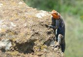 Exotic lizard in Sarova national park in Kenya
