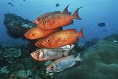 stock photo of bigeye  - Sodwana Bay Indian Ocean South Africa school of cresent - JPG