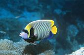 Emperor Angelfish over coral
