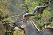Antelope feeding from trees