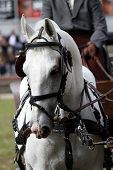 stock photo of workhorses  - Closeup view of the White horse in the carriage - JPG
