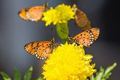 Tawny Coster Butterfly