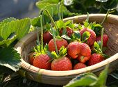 Strawberry field and freshly picked strawberries in the basket