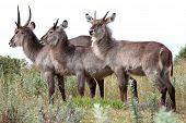 Waterbuck Antelope Trio