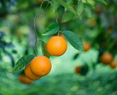 image of tangerine-tree  - Oranges fruits on a tree branch - JPG