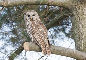 stock photo of bittersweet  - Barred Owl sitting on a pine tree - JPG