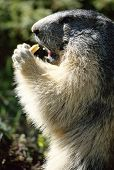 Marmot Standing And Eating A Piece Of Bread