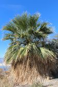 foto of washingtonia  - A California fan palm - JPG