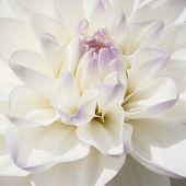 Sparkling White Bulb Dahlia In Extreme Closeup