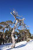 snowy tree in navacerrada madrid spain Europa.