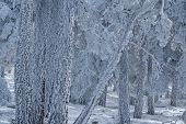 snowy tree in navacerrada madrid spain,
