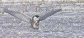 pic of hedwig  - Snowy owl in flight, setting up to catch its prey.  Winter in Minnesota.