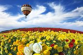 Beautiful spring weather, beautiful big balloon flies over the field. The huge field of white, red and yellow buttercups (Ranunculus asiaticus). The picture was taken Fisheye lens