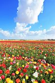 Spring in Israel. Fields of buttercups blooming garden with colorful and picturesque a huge cloud ov