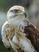 Common Buzzard Portrait