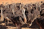 Ostriches (Struthio camelus) on an ostrich farm, Karoo region, Western Cape, South Africa