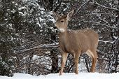 image of mule  - Alert mule deer doe in snow near Colorado Springs Colorado - JPG