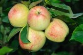 Four English Apples Ripening On A Tree
