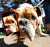 foto of pure-breed  - a cute bulldog taking a selfie with a cell phone - JPG