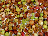 apples floating in water for preparing cider