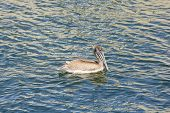 Brown Pelican In Coastal Waters