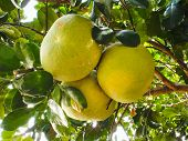 pic of pomelo  - Group of green raw pomelo fruits on tree - JPG
