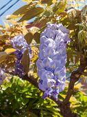 Blooming Wisteria Tree