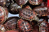 Red Turtles