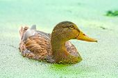 Duck Swimming With Duckweed In The Pond