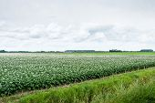 Typical Dutch Landscape With Flowering Potato Plants