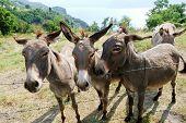 Several Donkey On Italian Farm